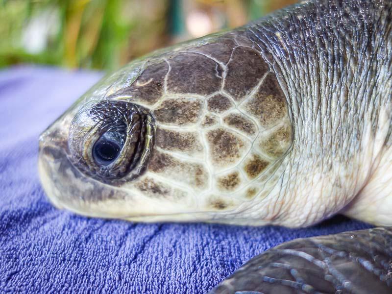 Fabia stranded Olive Ridley turtle Maldives (1) [800]