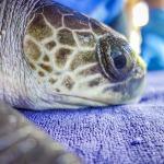 Token stranded Olive Ridley turtle Maldives