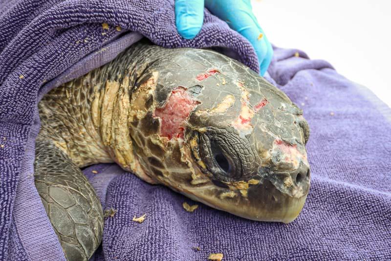 Alexia injured Olive Ridley turtle treatments Maldives