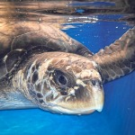 Alexia rescued Olive Ridley turtle Maldives