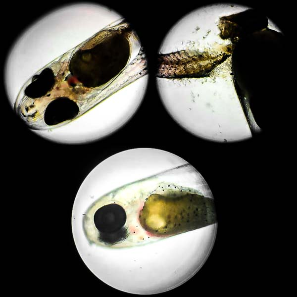 Aquarium Amphiprion clarkii egg development