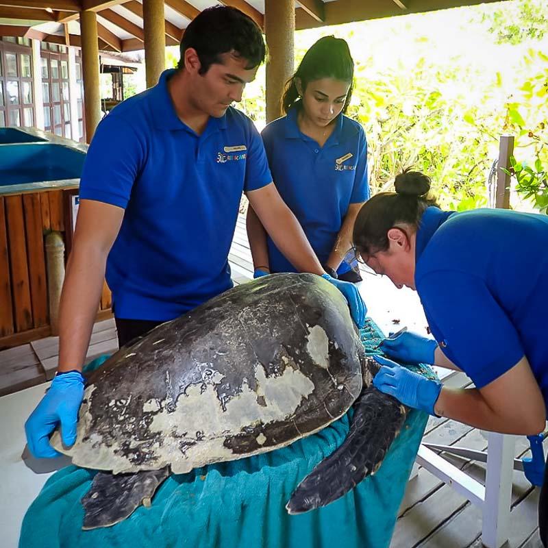 Maanee turtle conservation internship Maldives (2) Hulk