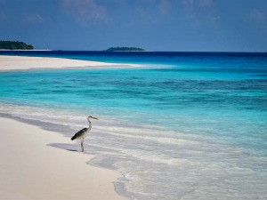 Beach life heron Maldives