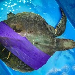 Millie stranded Olive Ridley sea turtle Maldives