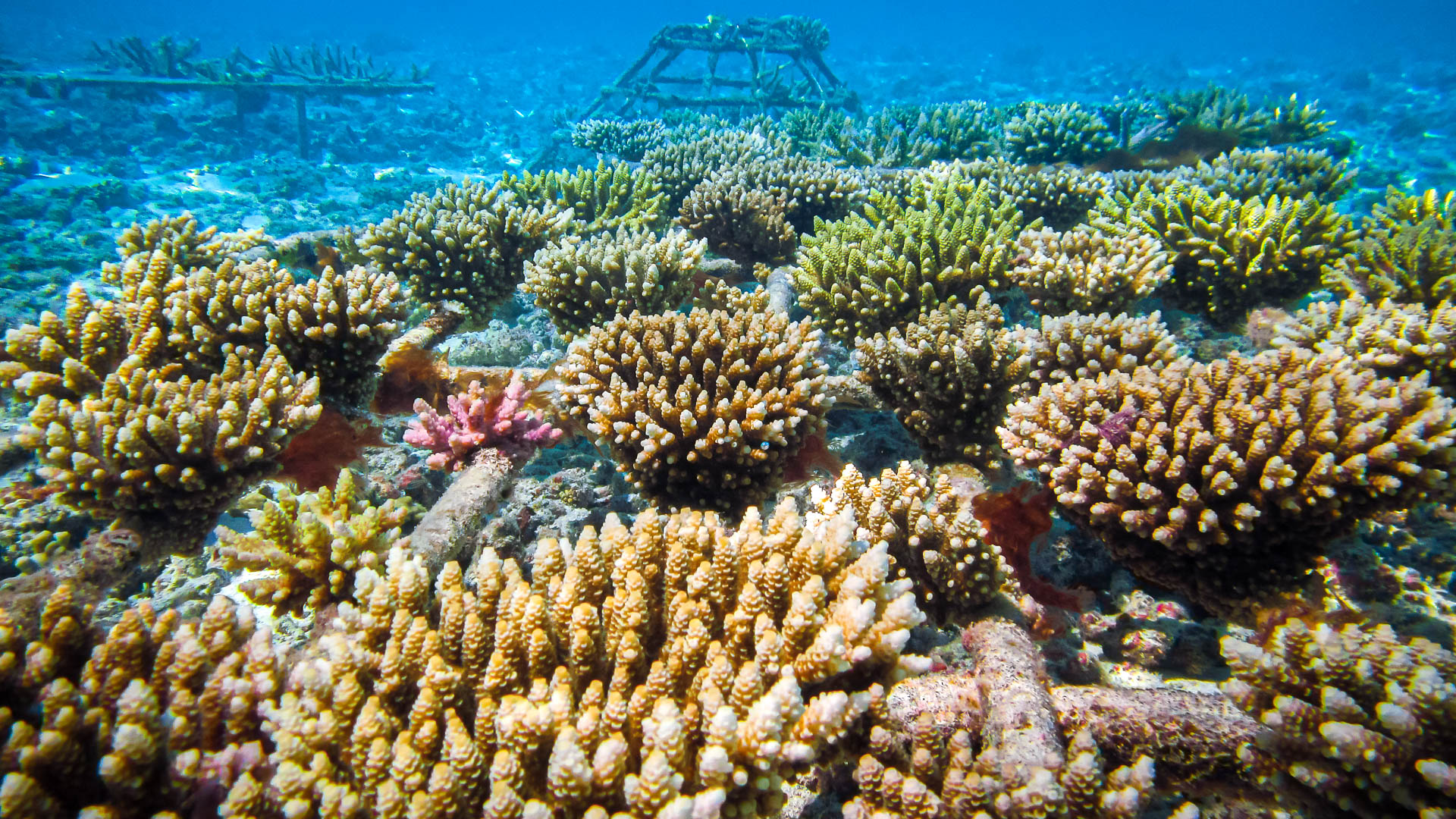 Reefscapers - NOAA coral bleaching forecast for May 2019 Maldives