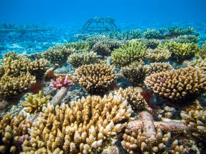 Reefscapers coral frames and reef restoration Maldives