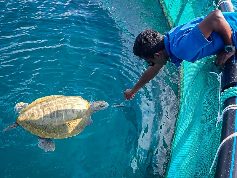 Turtle rehabilitation ocean enclosure Maldives