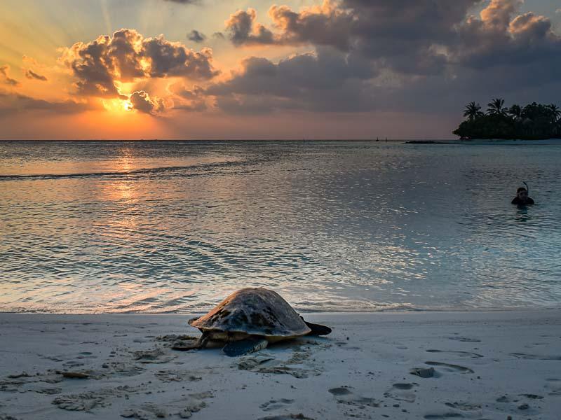 Valentine release rehabilitated turtle Maldives