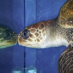 Valentine rescued Olive Ridley turtle Maldives