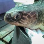 Asha stranded Olive Ridley turtle Maldives
