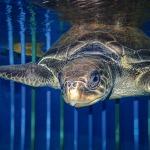 Georgia turtle entanglement ghost net Maldives