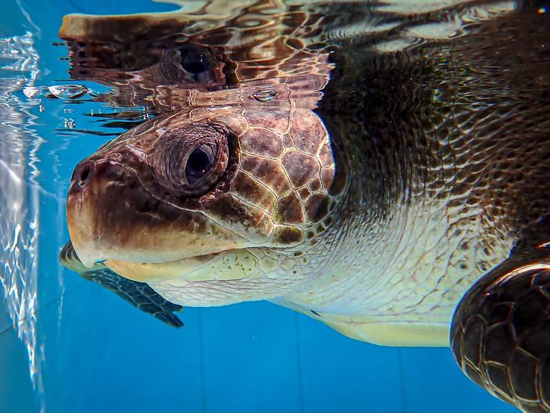 Conna stranded Hawksbill turtle Maldives