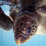 Saifa floating Olive Ridley Turtle buoyancy syndrome Maldives