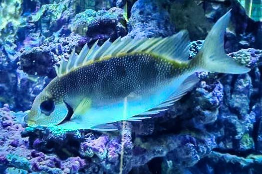 Black eye rabbitfish (Siganus puelloides)