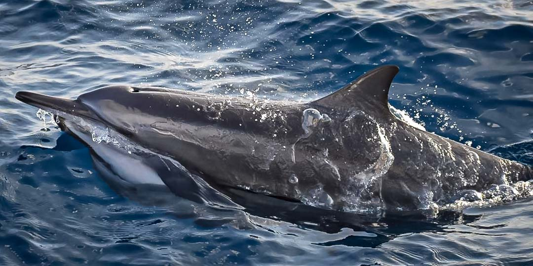 Dolphin identification Maldives spinners