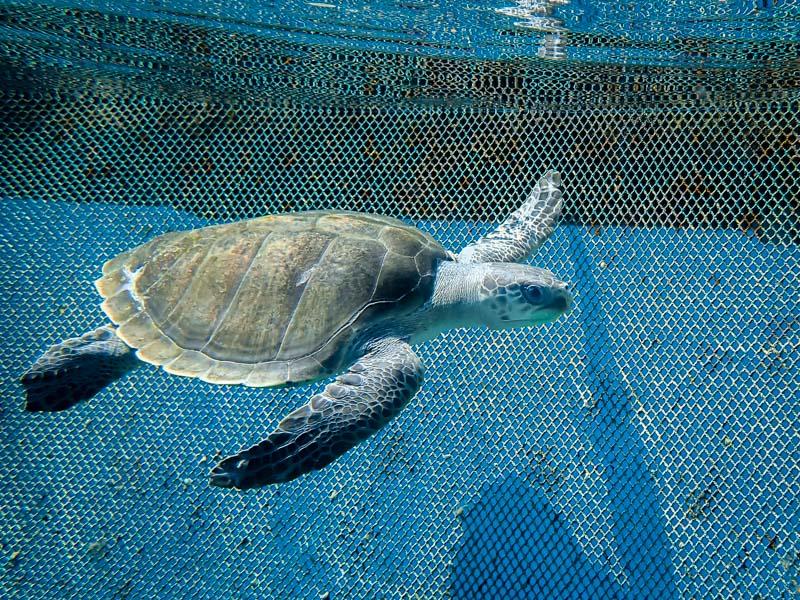 Macau stranded Olive Ridley turtle Maldives