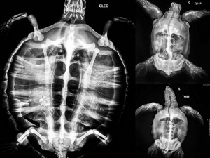 Sea turtle X-ray collage