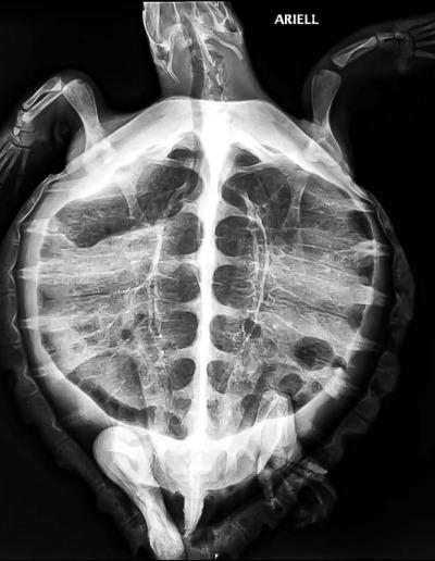 Sea turtle diagnostic X-ray Maldives - Arielle
