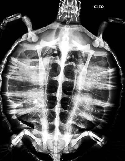 Sea turtle diagnostic X-ray Maldives - Cleo