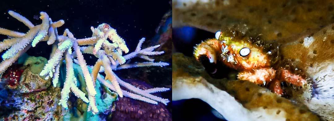 Aquarium-2 Acropora microphthalma and furry coral crab