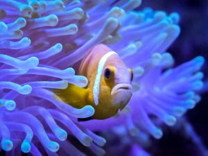 Fish Lab clownfish breeding Maldives