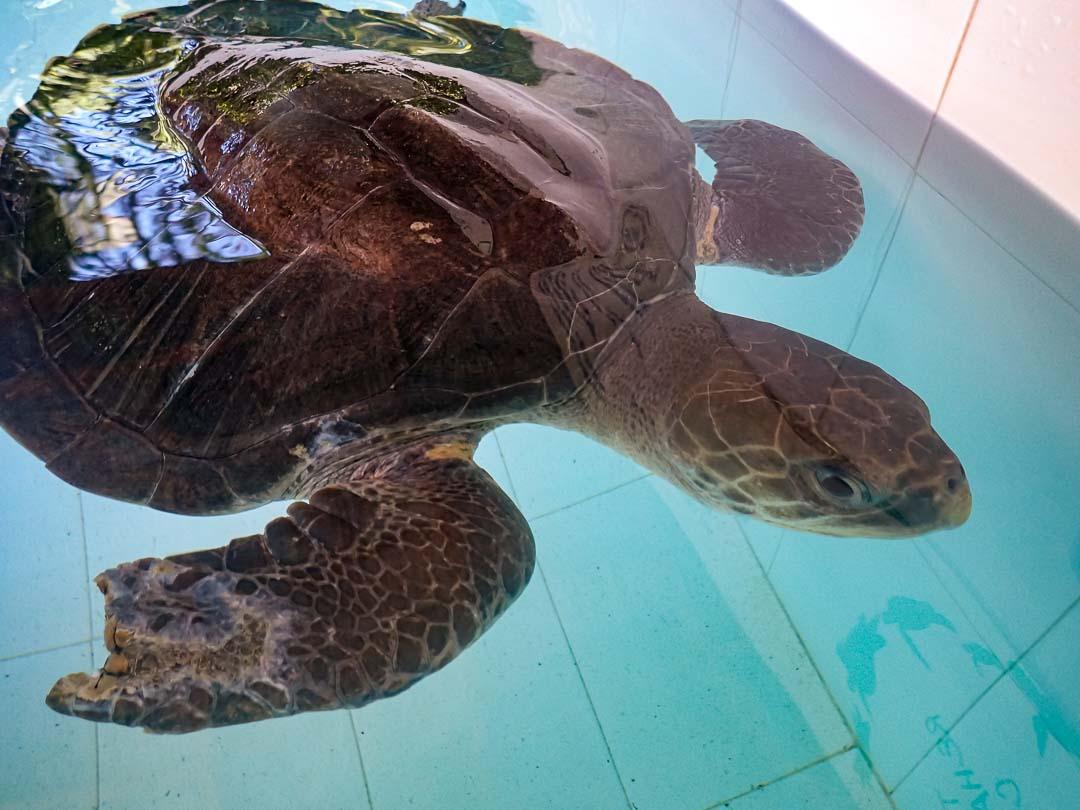 Shakti rescue Olive Ridley ghost net Maldives