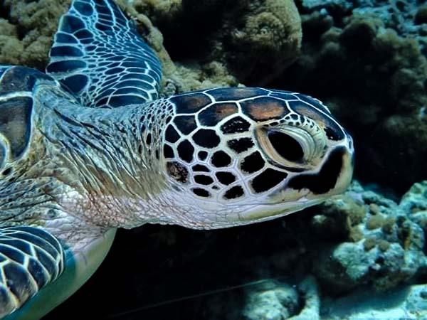 Turtle identification Maldives (CM214)