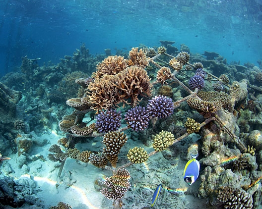 Coral bleaching news (July 2010)