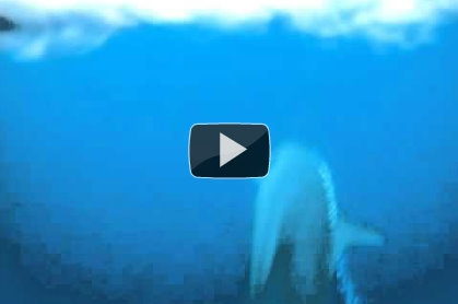 Video : false killer whales