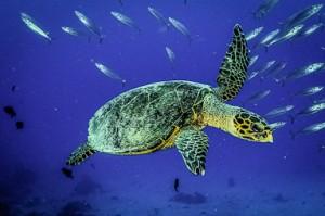 120222 Finolhass (1)-LR (Our Maldivian Sea Turtle Conservation Programmes)