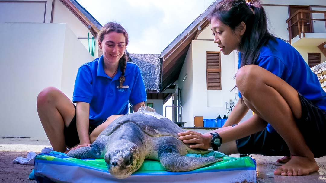 Mature female Olive Ridley turtle 'Akua' – attaching her satellite tag before release (October 2013)