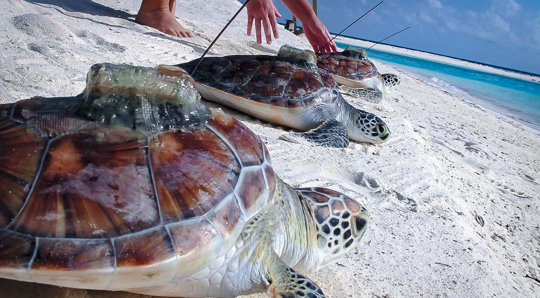 Green Turtles – Satellite Tagged – Maluo, Alfred & Bailey