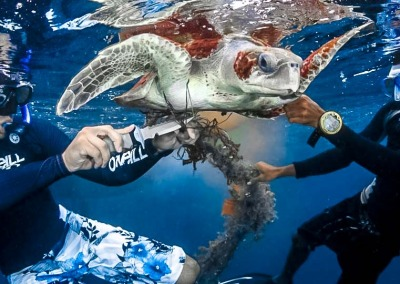 Olive Ridley turtle - ocean rescue