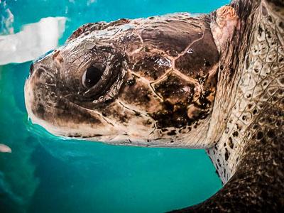 Bobita – adult female Olive Ridley turtle