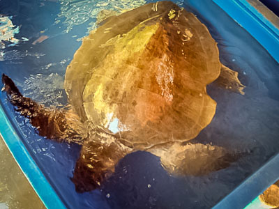 Samsy - our largest Olive Ridley turtle so far