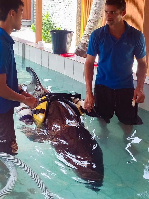 Haita False Killer Whale rescue Marine Savers Maldives [TLB.1079]