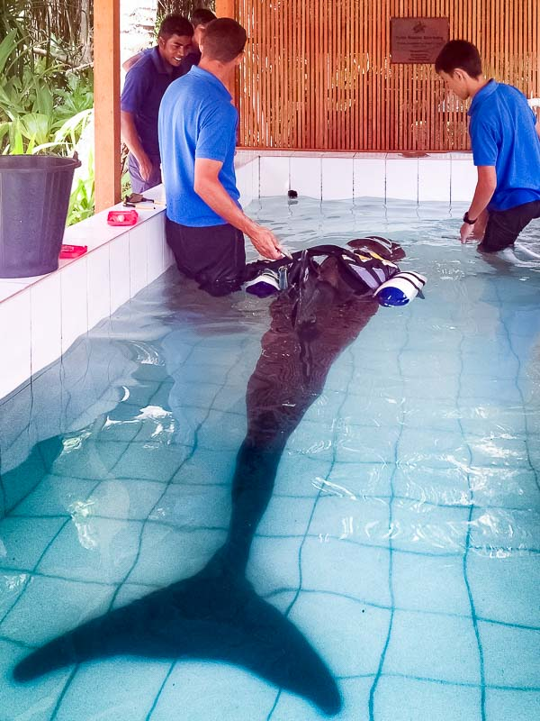 Haita False Killer Whale rescue Marine Savers Maldives [TLB.1081]