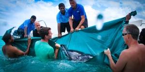 Stranded False Killer Whale (02) Marine Savers Maldives [1687] (False Killer Whale – Rescue & Attempted Rehabilitation (December 2012))