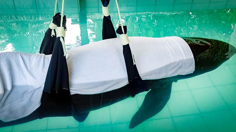 Stranded False Killer Whale (17) Marine Savers Maldives
