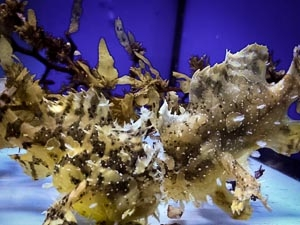 Frog Fish adults [LG 2013.03] (March Updates from our Fish Lab)