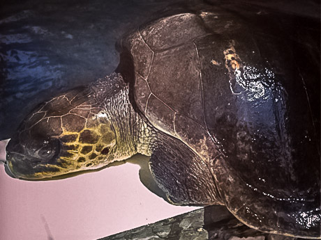 Grace - rescued Olive Ridley turtle (04-Apr-13)