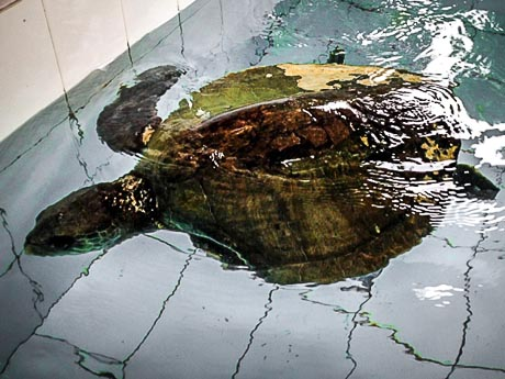 Igor in the turtle recovery pool