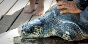 Igor release (1) (April is a Record Month for our Turtle Rescue Team)