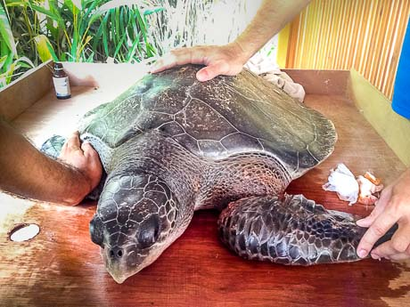 Igor the Olive Ridley rescue turtle - Thulhadhoo island
