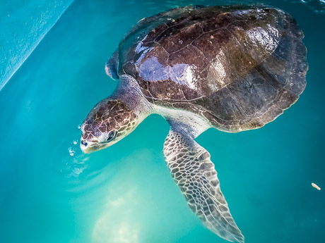 'Jessica' Olive Ridley Turtle - with 1 flipper remaining