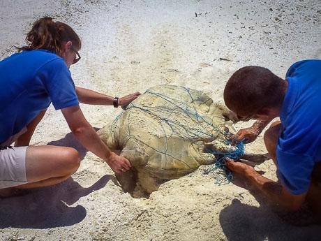 Kihaadhoo - freeing the entangled Olive Ridley turtle