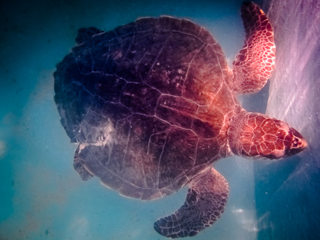 'Slicer' Olive Ridley Turtle - with damaged carapace