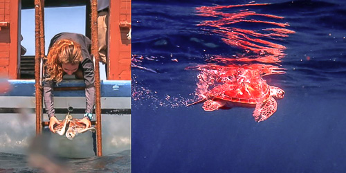 Alex the green turtle is released from the dhoni and swims out to sea