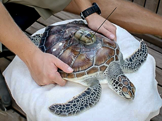 Alex - reared Green turtle getting satellite tag fitted