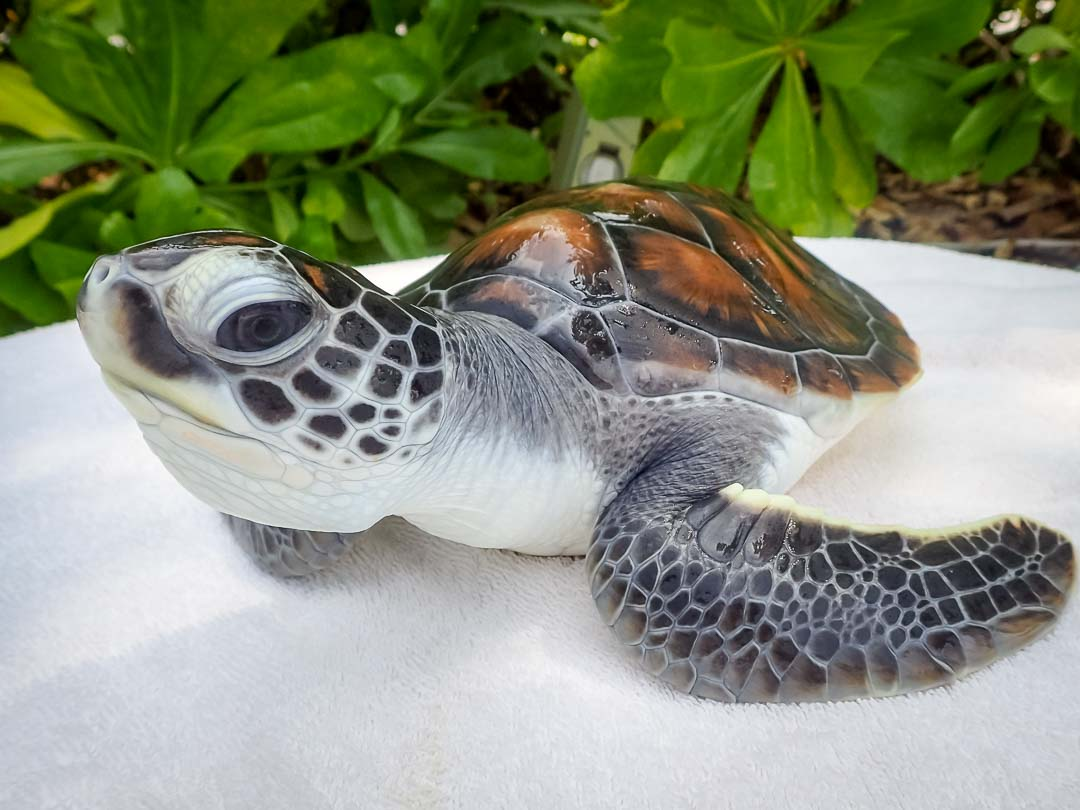 Flora - sea turtle conservation Maldives Marine Savers